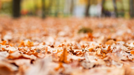 Park fall trees with fallen lush foliage covering the ground. Background texture of yellow leaves autumn leaf background