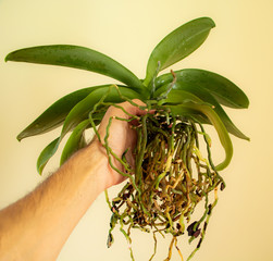 Orchid repotting concept. Ochid in the hand with a lot of roots