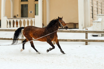 A horse in a paddock runs in a circle on a winter day