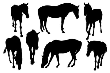 Adult horses silhouettes on white background