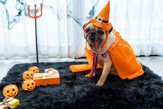 Cute pug dog with halloween costume party at home. Tongue sticking out with funny face