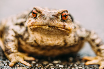 Toad crawling on wet ground