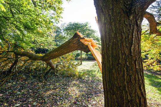 "Large tree limb broken off during the ""St Jude"" storm that travelled across Europe in late October 2013. Wind speeds around 70mph hit southern parts of the UK."