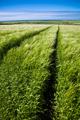 Wall Mural - Tracks in Barley field