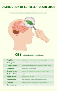 Distribution of CB1 Receptors in Brain vertical infographic illustration about cannabis as herbal alternative medicine and chemical therapy, healthcare and medical science vector.