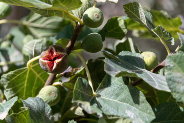 Ripe fig fruit on tree revealing its red inside