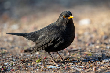 Common Blackbird (Turdus merula) in the nature protection area Moenchbruch near Frankfurt, Germany.