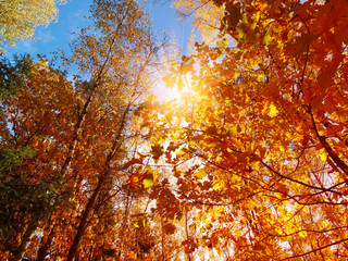 In de dag Rood traf. autumn landscape forest with yellow red leaves with sunny light beams
