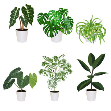 Alocasia in pot isolated on the white background, vector