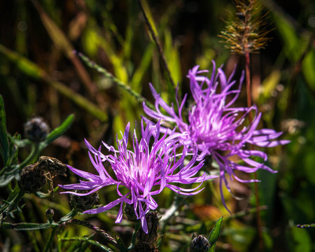 Spotted Knapweed in Grahmsville NY!