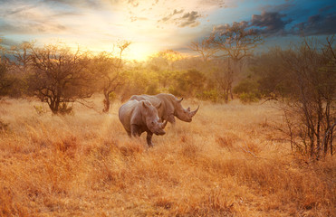 Poster de jardin Rhino Two Rhinos in late afternoon, Kruger National Park