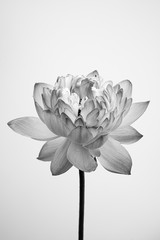 Garden Poster Lotus flower Black and white fine art Lotus view with textured petals