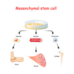 Mesenchymal stem cells are multipotent stromal cells