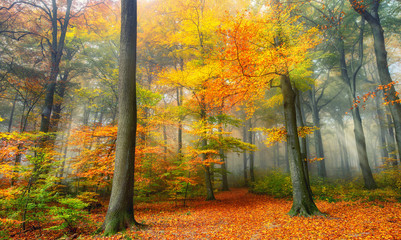 Obraz Misty forest in autumn, with beautiful warm colors and cool, soft light falling through the foliage into a clearing - fototapety do salonu