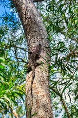 Portrait of a giant lizard climbing on the tree