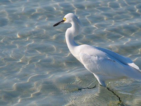 Snowy Egret Swimming in Gulf