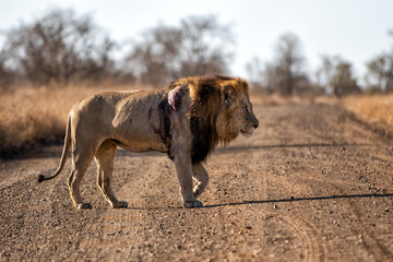 Lion - dominant male wounded after a fight in Kruger National Park in South Africa