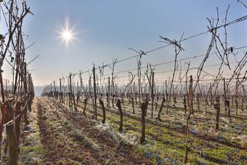 Winterlicher Weinberg im Januar mit Raureif