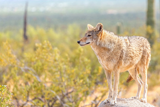 Coyote in the Wild Desert Observing the Horizon