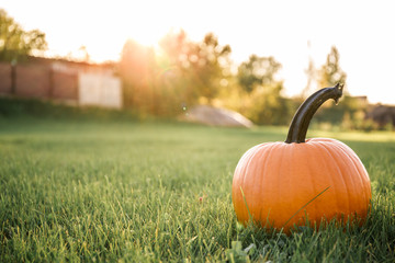 big orange pumpkin in the field, good sunny autumn day