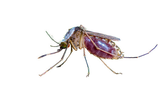 Close up of Mosquito isolate sucking human blood with white background in Thailand. Clipping path.
