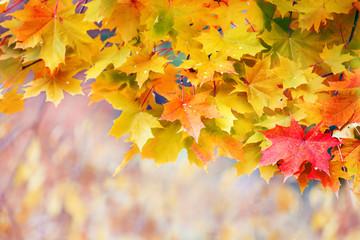 Yellow maple in autumn park