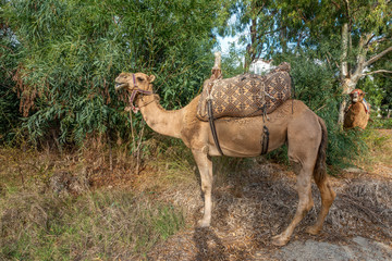 two camels stand in a bush and eat their fill of the leaves
