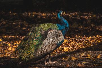 Peacock Image