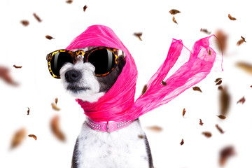 Poster Crazy dog chic diva dog in autumn or fall windy
