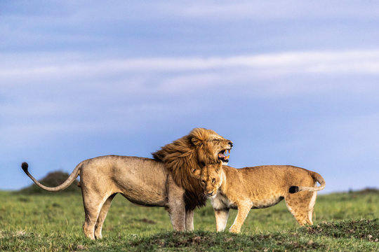 Lion and Lioneess Showing Affection