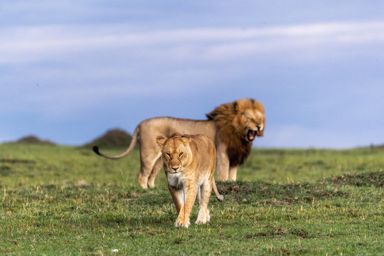 Lioness walking away from male lion