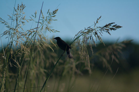 Blackbird in aquatic vegetation in its habitat