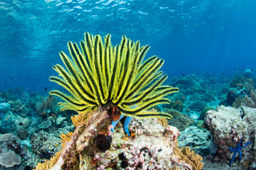 A bright yellow crinoid fans its tentacles out to feed on plankton flowing over a reef in Indonesia. Crinoids are ancient echinoderms often found as fossils.