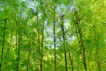 Poster Bambou bamboo tree in garden outdoor