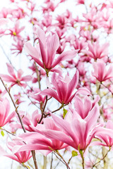 Blooming magnolia tree in spring on white background