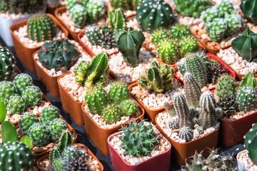 Foto op Plexiglas Cactus Cactus succulent plantation at nursery, Small cactus in container for sale