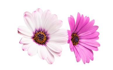 Osteosperumum Flower Daisy Isolated