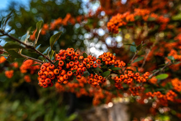 hawthorn plants, which are considered to be among the species of the rosaceae family; It belongs to North America, Europe and North Asia.
