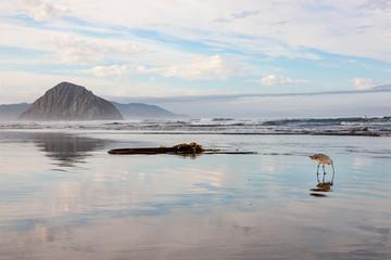 Brachvogel auf Futtersuche am Strand von Morro Bay