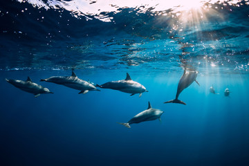 Stores à enrouleur Dauphin Spinner dolphins underwater in blue ocean. Dolphin family