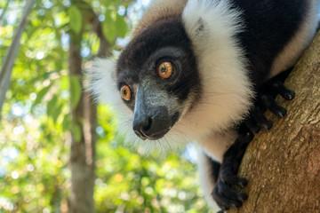 Black-and-white ruffed lemur (Varecia Variegata).Endemic Madagascar.