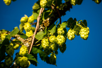 hop with ripe cones in summer