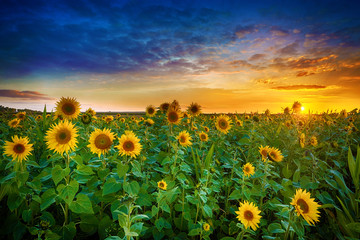 Stores à enrouleur Tournesol Beautiful sunset over sunflower field