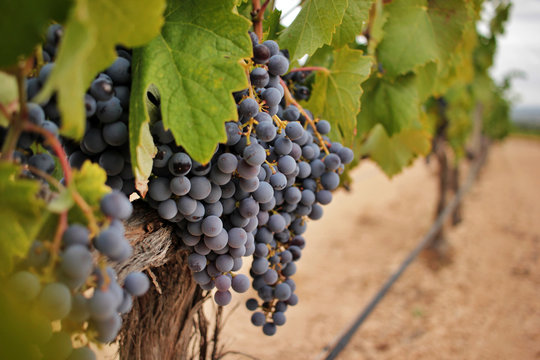Ripe grape cluster of monastrell variety just before the harvest