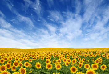 Wall Mural - Sunflowers field on sky