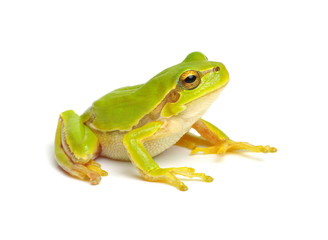 Fotobehang Kikker Green tree frog isolated on white