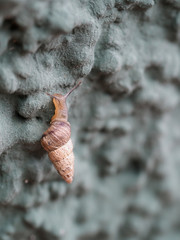 Cochlicella acuta aka pointed snail. Small but high-spired, pointy, air-breathing land snails.