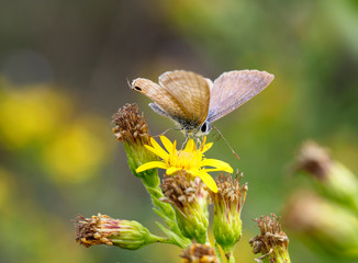 Autumn butterfly. Lampides boeticus ie Pea blue or Long tailed blue on yellow flowers of Dittrichia viscosa aka Sticky fleabane.