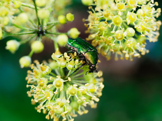 Rose chafer beetle, Chrysolina graminis. Shiny, emerald green metallic large insect on ivy, hedera, flower. Closeup, selective focus. Raindrops after rain.