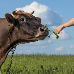 Wall Mural - Cow with frightened look and metal chain leash smells the grass bunch given in a human hand. Summer meadow with sunny sky as the background.